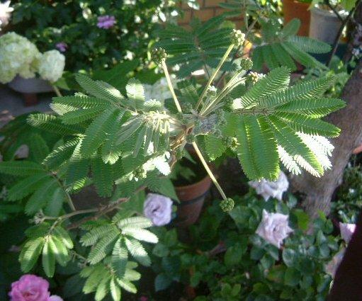 オークリーフ(5月のmy garden)_f0049672_14365529.jpg