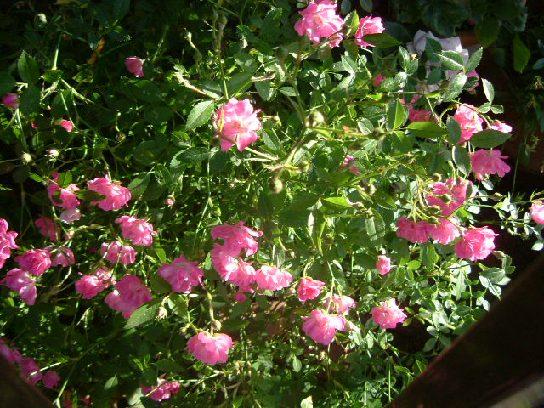 オークリーフ(5月のmy garden)_f0049672_145476.jpg