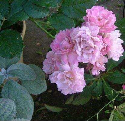 オークリーフ(5月のmy garden)_f0049672_1484641.jpg