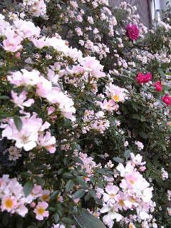 ミニ薔薇_f0099147_1836957.jpg