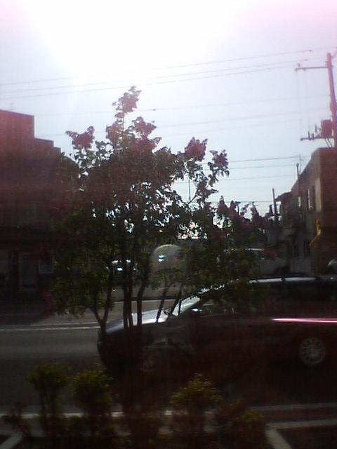 街路樹の花、満開_b0106766_171552.jpg