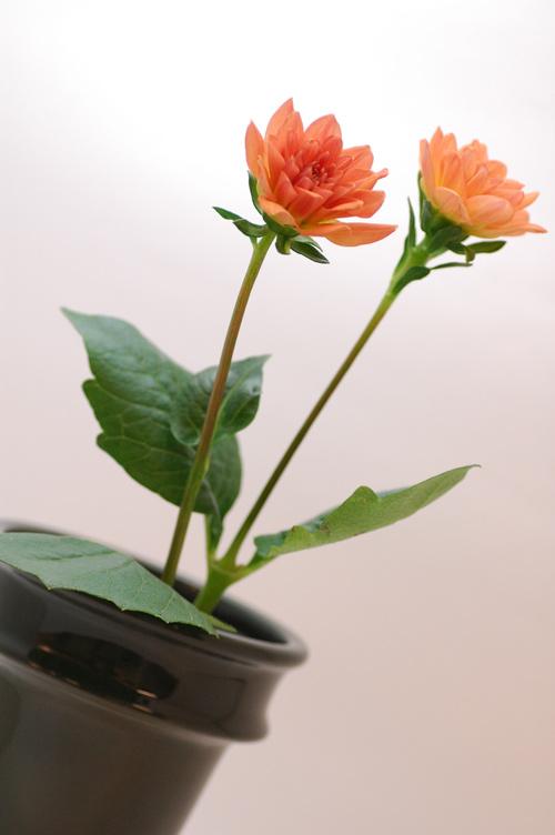 ダリア バルセロナ オレンジ