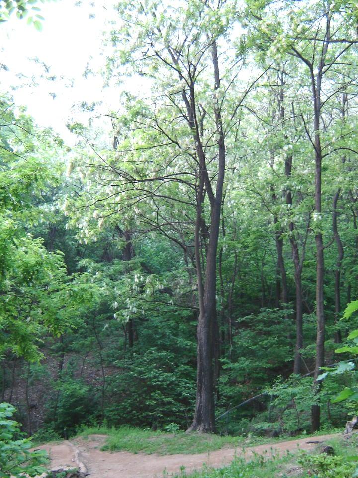 韓国の初夏の香り アカシアの白い花_d0037284_15473615.jpg