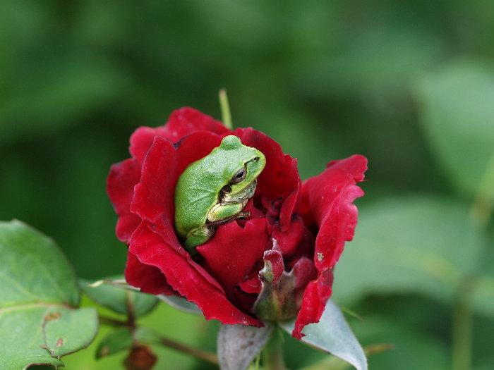 薔薇とアマガエル_c0116915_17585530.jpg
