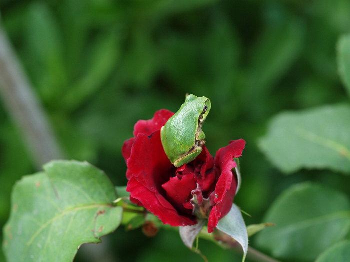薔薇とアマガエル_c0116915_17593123.jpg