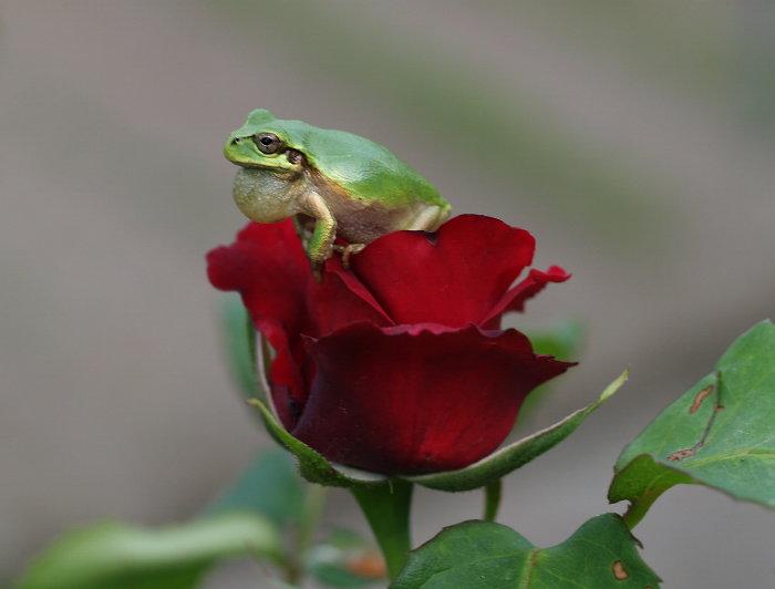 薔薇とアマガエル_c0116915_1821926.jpg