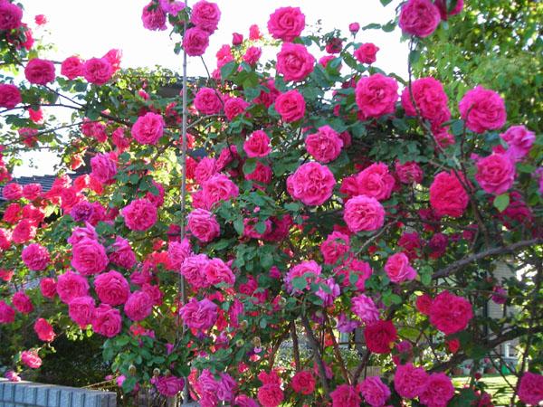 薔薇盛り_d0000995_21273693.jpg