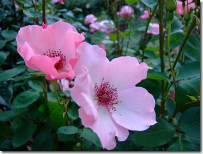 5月25日ピンクのバラ