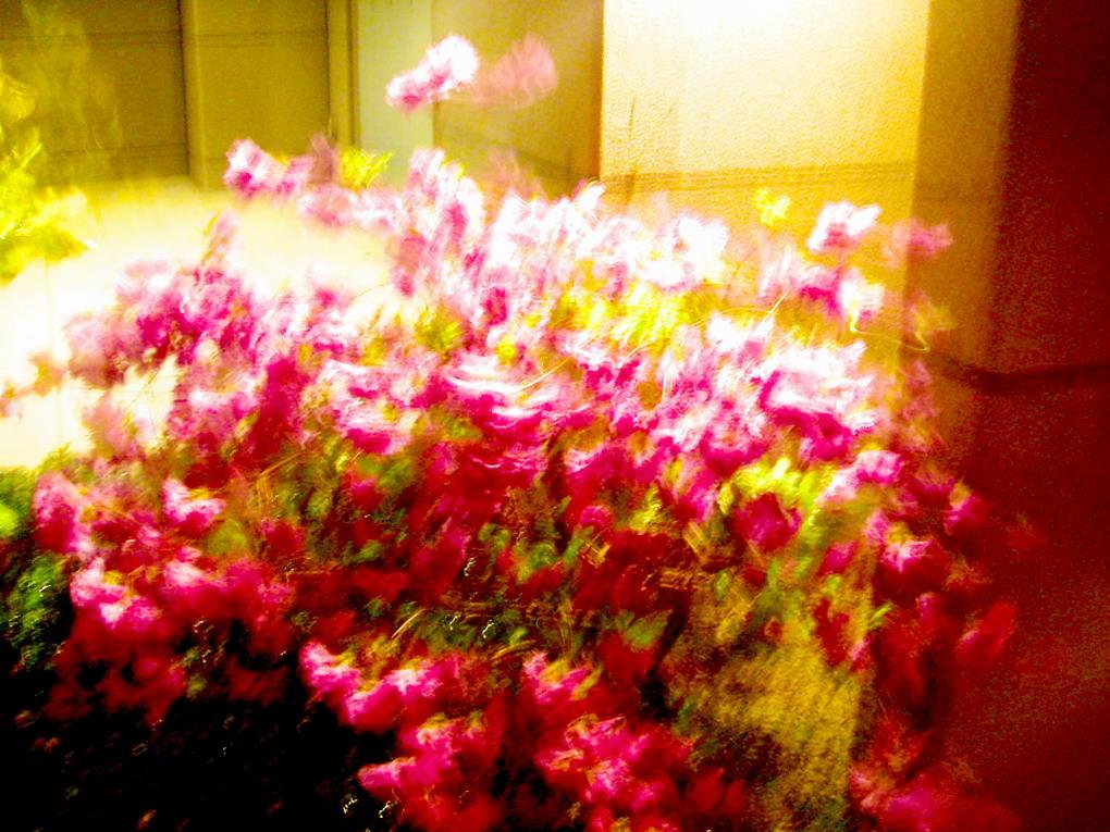 嵐の夜、バラの花のように咲く_f0033205_09598.jpg