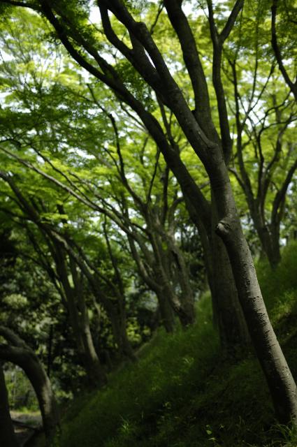 神戸の貯水地の裏手の方に、緑鮮やかなもみじの木が斜めに生えております。昨年も撮った場所なんですが、今年も綺麗だなぁと思いまた撮っちゃいました。自然も豊かで、港も綺麗。街の人も心豊かな方ばかりです。