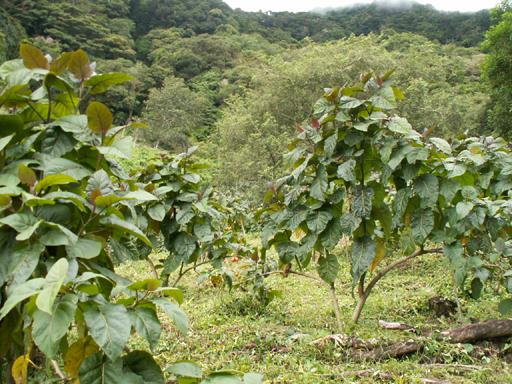 タマリロの木(草)