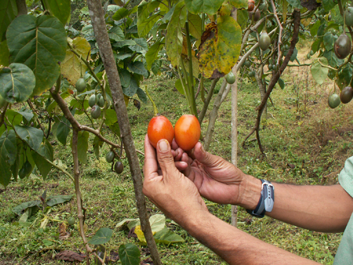 タマリロの果実