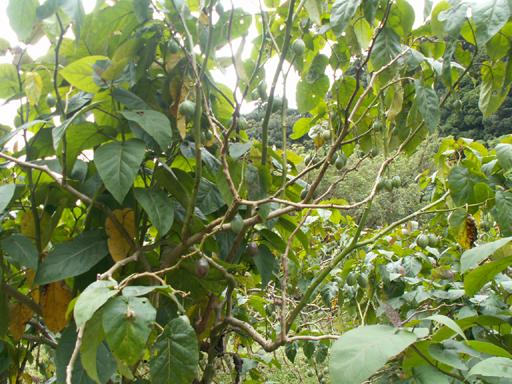 結実しているタマリロの木(草)