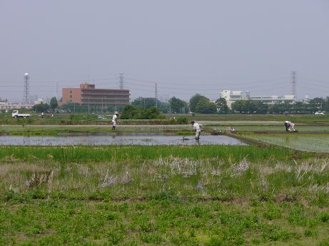 都会の田んぼ。田植えを見てきました。_a0050728_1810164.jpg