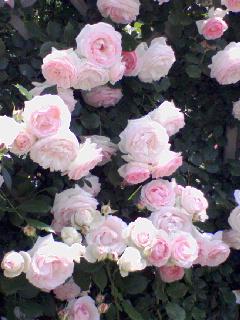 バラが満開★_b0108363_14342781.jpg