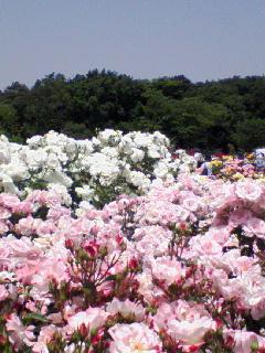 バラが満開★_b0108363_14371079.jpg