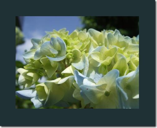 5月27日紫陽花