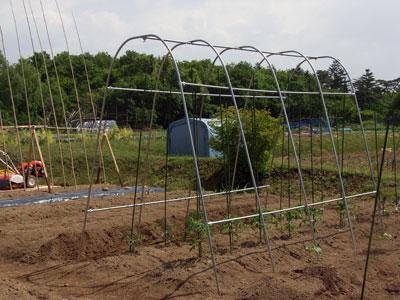 農園便り・トマトの雨対策_c0063348_5103839.jpg