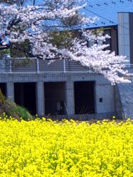 菜の花畑に、入り日薄れ_f0067107_103336100.jpg