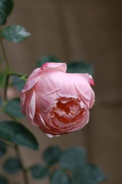 English Rose Alnwick Castle_f0057564_1943645.jpg