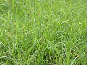 根茎類薬材の採集と加工方法 4香附子_f0138875_20252075.jpg