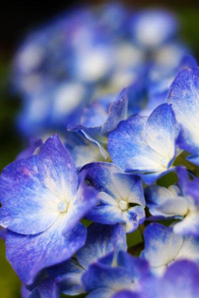 Ajisai -begin blooming-_b0081177_1222933.jpg