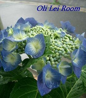紫陽花の季節がやってきました_c0083904_17315771.jpg