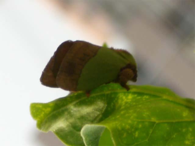 綺麗な緑色と茶色で まるで葉っぱにそっくりでした_b0025008_22172860.jpg