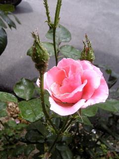 薔薇♪_f0099147_20404168.jpg