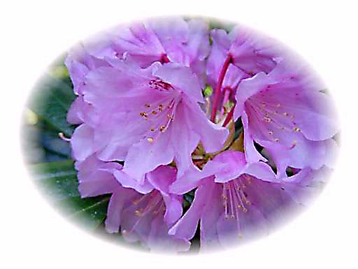 石楠花が美しい室生寺_d0013068_23554768.jpg