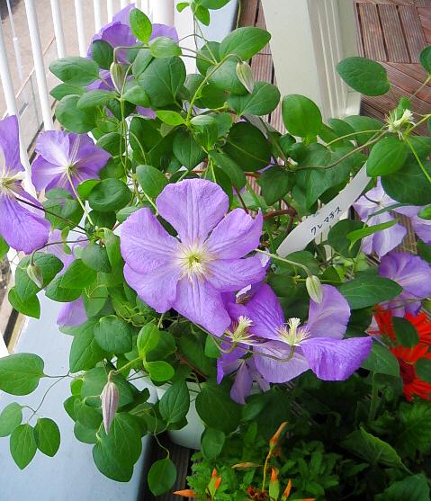 可愛い緑の葉っぱに、紫色のふわっとした大きな花びら。つぼみも沢山持っていて、これからが楽しみな鉢です。