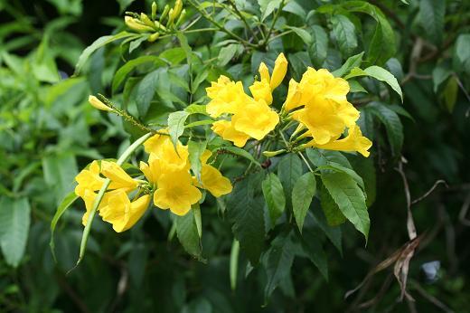 ノウゼンカズラ科(Bignoniaceae) : えるだまの植物図鑑