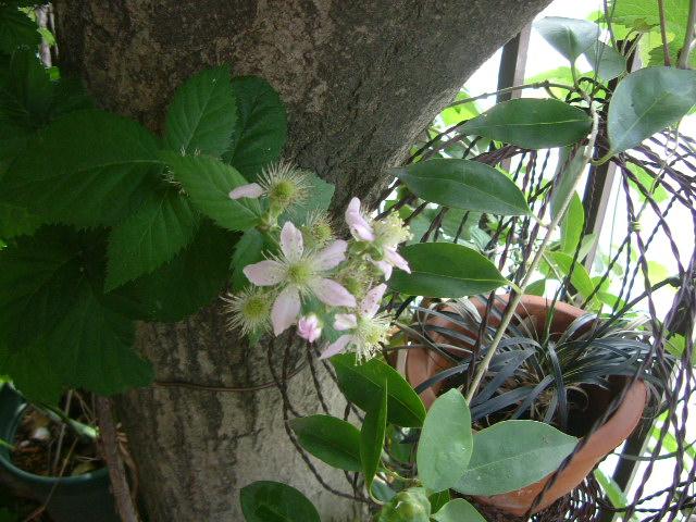 オークリーフ(庭の紫陽花)_f0049672_11235846.jpg