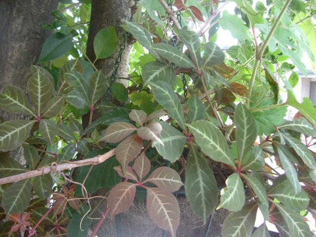 オークリーフ(庭の紫陽花)_f0049672_1124407.jpg