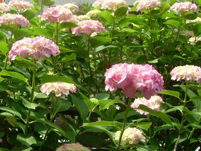 オークリーフ(庭の紫陽花)_f0049672_11344242.jpg