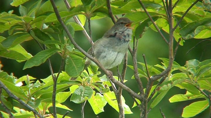 ウグイスの競演 (Japanese Bush Warbler)_c0047906_22233683.jpg