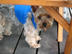 テーブルの下で何が物欲しそうな顔をしているラッキー君。ブルーのポロシャツを着ています。