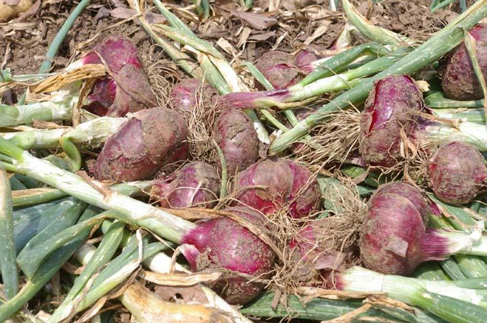 タマネギとジャガイモを本格収穫!そしてキュウリも(6・2)_c0014967_131324100.jpg