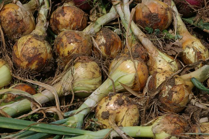 タマネギとジャガイモを本格収穫!そしてキュウリも(6・2)_c0014967_13134288.jpg