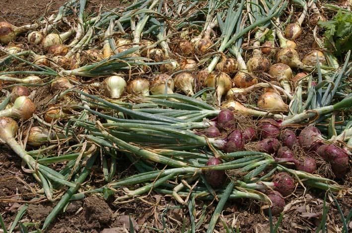 タマネギとジャガイモを本格収穫!そしてキュウリも(6・2)_c0014967_13135670.jpg