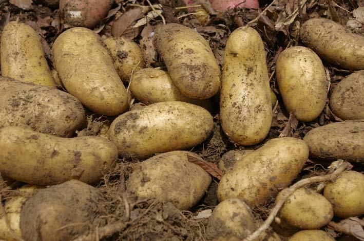 タマネギとジャガイモを本格収穫!そしてキュウリも(6・2)_c0014967_13142398.jpg
