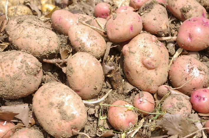 タマネギとジャガイモを本格収穫!そしてキュウリも(6・2)_c0014967_13144795.jpg