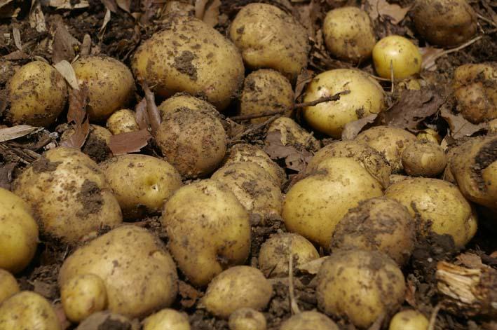 タマネギとジャガイモを本格収穫!そしてキュウリも(6・2)_c0014967_13152556.jpg