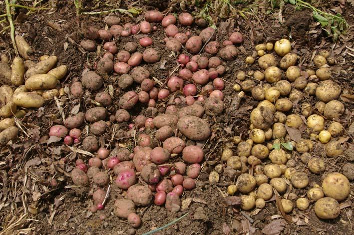 タマネギとジャガイモを本格収穫!そしてキュウリも(6・2)_c0014967_13154134.jpg