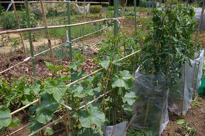 タマネギとジャガイモを本格収穫!そしてキュウリも(6・2)_c0014967_13205355.jpg