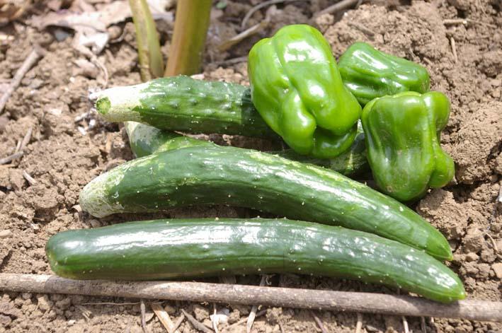 タマネギとジャガイモを本格収穫!そしてキュウリも(6・2)_c0014967_1361042.jpg