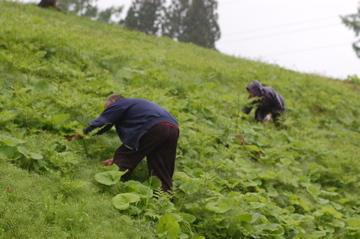 山菜採り行脚@新潟(2日目)  そして雨。_f0057564_23585787.jpg