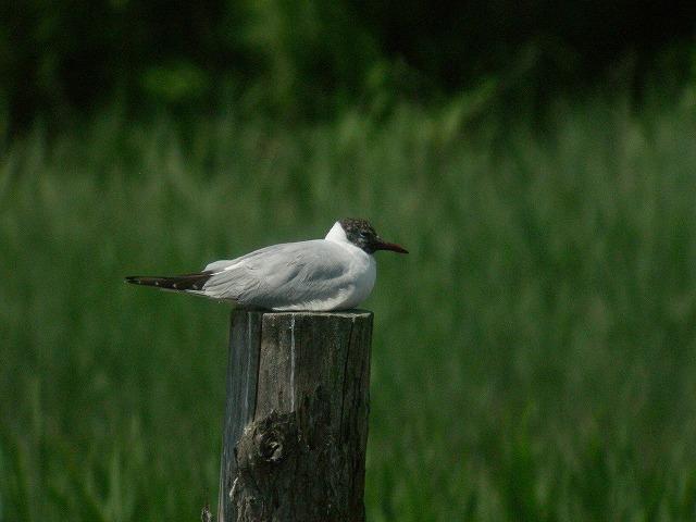 ★オオバンまだいました! 週末の鳥類園情報(2007.6.2~3)  _e0046474_16421447.jpg