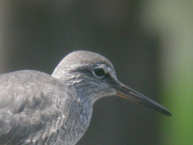 ★オオバンまだいました! 週末の鳥類園情報(2007.6.2~3)  _e0046474_16432999.jpg