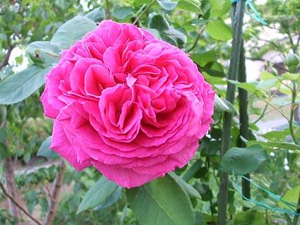 6月4日 庭の花_f0019498_19172895.jpg